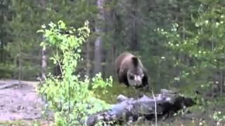 Медведи нападают на людей