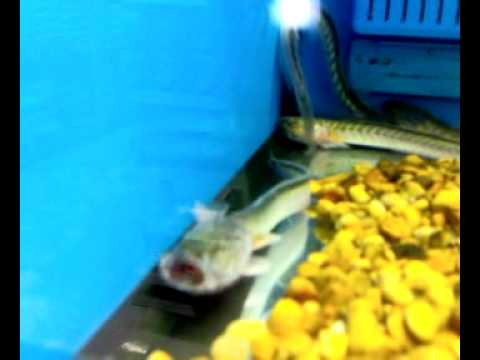 Dragon fish youtube for Fishing license walmart