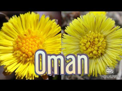 Biljka oman je lek za pluća, za čišćenje krvi i celog organizma i amajlija