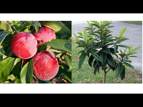 How to grow plum from seeds easy to growing