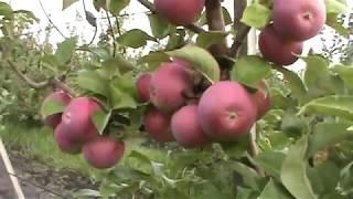 видео яблоня орловское полосатое