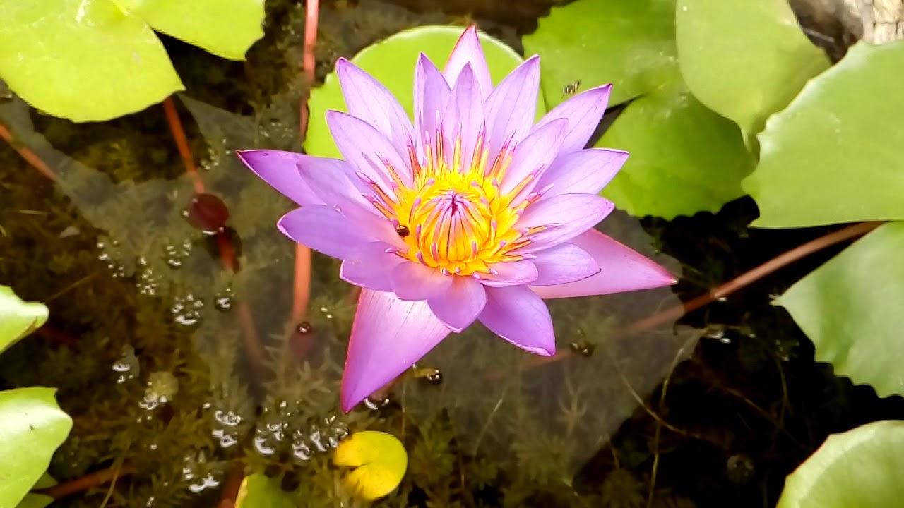 Honey Bee Ctar Lotus Flower Youtube