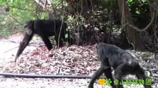 チンパンジーの飼育担当者が、タンザニアにあるゴンベ国立公園へ行って...