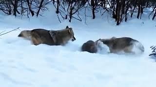 Эффектные атаки диких животных. Борьба за выживание. Битвы животных.