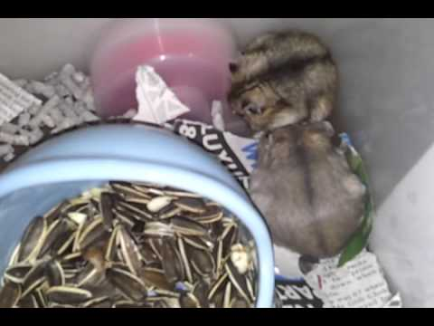 Sex Video Hamster