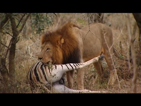 Lions Documentary - \'THE KINGS OF THE AFRICAN JUNGLE\'