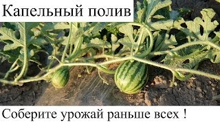 Капельный полив растений на огороде или в саду.