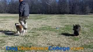 Lena Advanced Training | Dog Obedience College