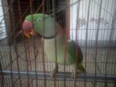 talking parrot  for sale