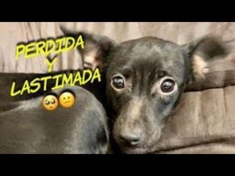 Chispa, perro abandonado, su Historia, rescate, rehabilitación y adopción, ( helping Injury dog)