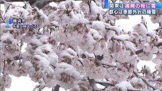 満開の桜に大粒の雪・・・都心でこの時期の積雪10年ぶり(20/03/29)