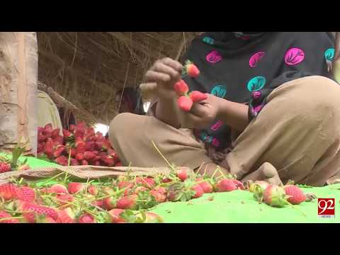 Multan : Check the Strawberry production process - 24 February 2018 - 92NewsHDPlus