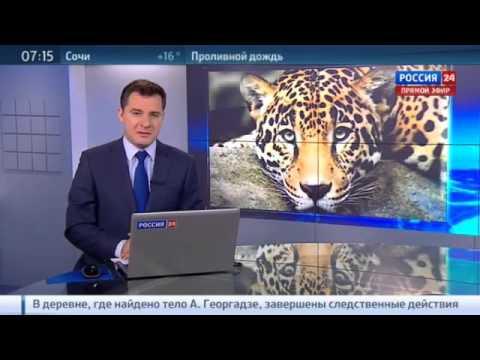 В Сочинском питомнике леопардов, занесённых в Красную книгу, готовят к жизни в естественной среде.