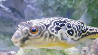 [아쿠아리움] 수줍어하는 MBU 복어 [aquarium…