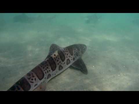 Leopard Shark Invasion (4K UHD)