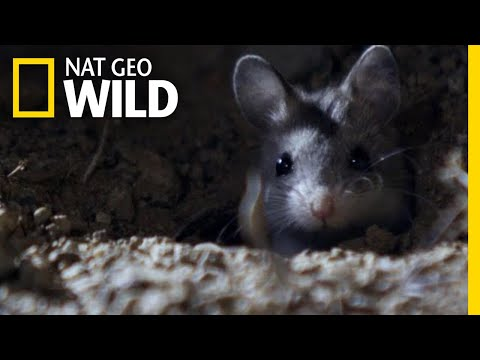 The Grasshopper Mouse Is a Killer Howling Rodent | Nat Geo