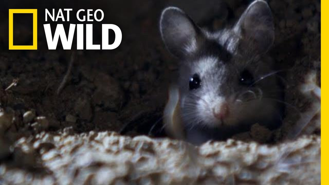 The Grasshopper Mouse Is a Killer Howling Rodent | Nat Geo Wild