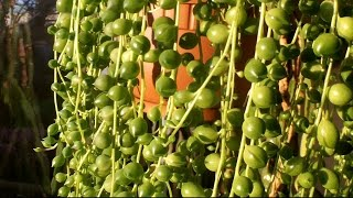 how to care for a string of pearls plant senecio rowleyanus