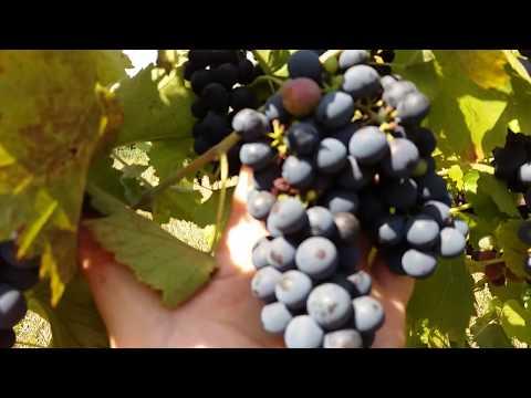 Виноград Саперави Северный. Технические сорта винограда Северный саперави - морозостойкость tдо -30С