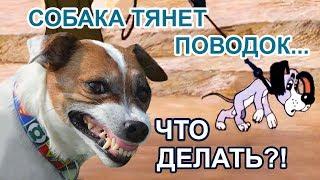 Собака тянет поводок: как отучить