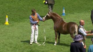 Merlod Mynydd Cymreig March 4 | Welsh Mountain Ponies Stallions 4