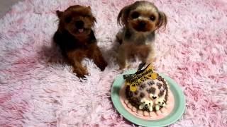 チビっこヨーキーのふうたくんが 無事3歳のお誕生日を迎える事が出来ま...