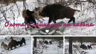 Охота с лайками на кабана.#Hunting with dogs on wild boar.#