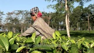 Several women workers plucking tea leaves in Assam