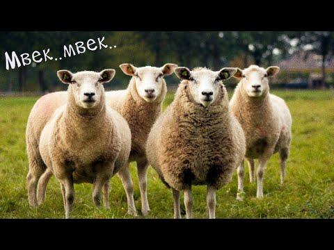 suara-hewan-kambing,-mbek..-#suarabinatang-#sheep-#goat-#soundthesheep-mengenal-suara-binatang