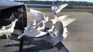 100 white doves