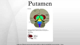 Putamen