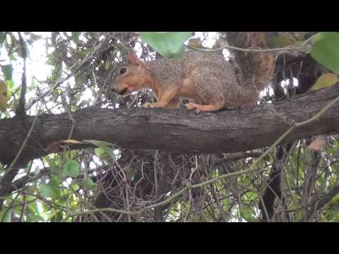 Eastern Gray Squirrel Sciurus carolinensis on Shoal Creek Trail in Austin TX