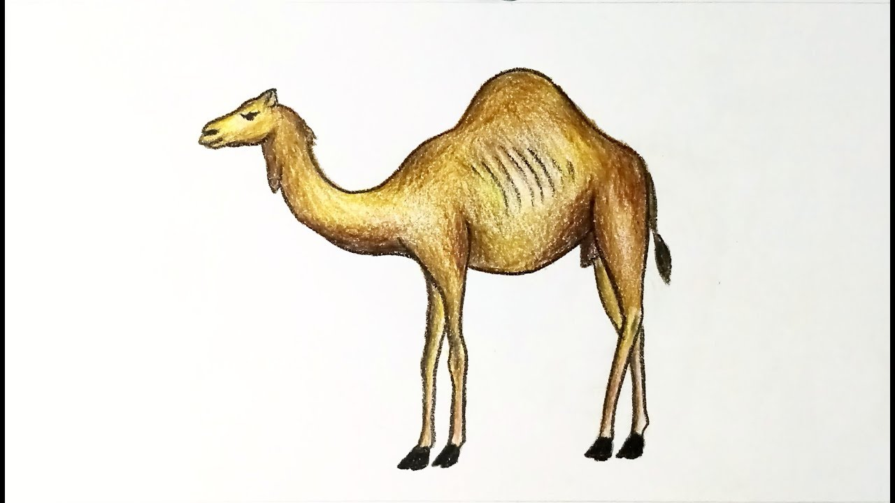 How To Draw A Camel Step By Step With Color Easy Drawing Youtube