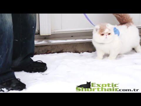 Her mevsim sizinle güzel. Exotic Shorthair Kar Tatili Snoopy | Exoticshorthair.com.tr