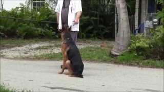 Trained German Shepherd Puppies! - ( Must Watch)!