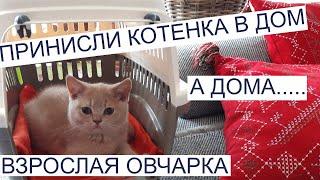 Купили котенка 3 месяца, 1 день в новом доме . Британская кошка