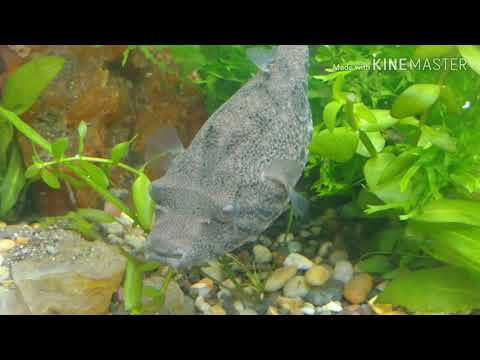Freshwater Puffers Super Worms Snack Time