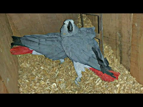 African grey parrot talking and Breeding cages