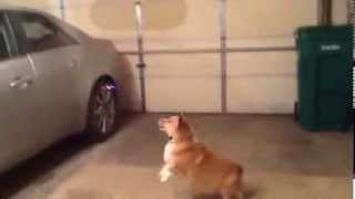 Corgi Attacking Quadcopter