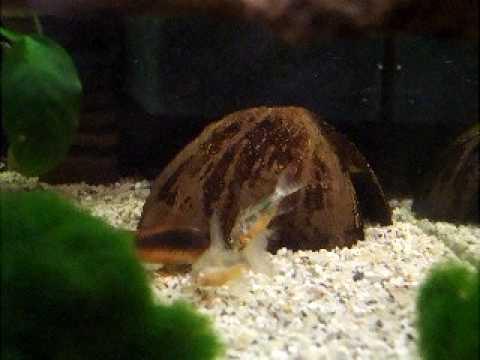 Pelvicachromis pulcher vs. Apistogramma cacatuoides