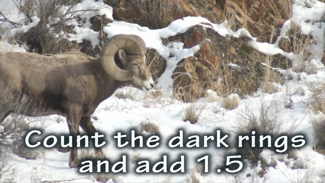 Bighorn sheep - how to age - YouTube