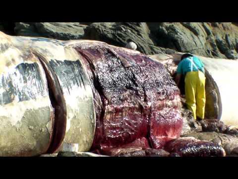 Bean Hollow State beach Blue Whale necropsy 5/5