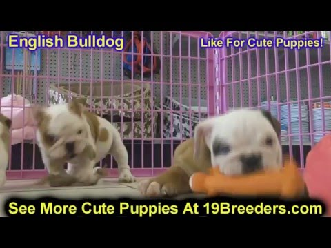 English Bulldog, Puppies, Dogs, For Sale, In Columbia, South Carolina, SC, Mount Pleasant, Sumter