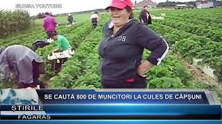Se cauta 800 de muncitori la cules de capsuni in Spania