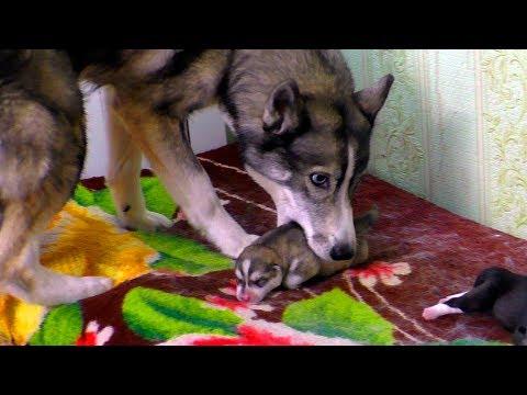 Собака спасает щенка