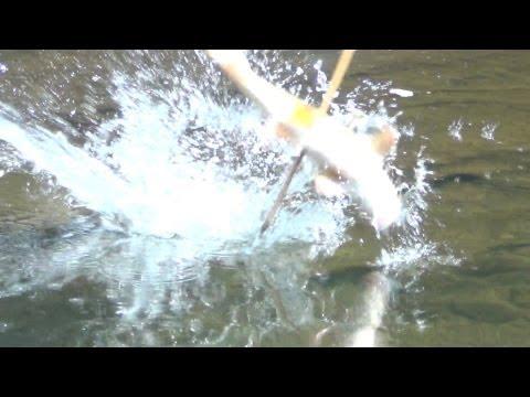Bow Fishing Recurve BEST SHOTS 2012