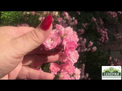 Необыкновенная красота почвопокровных роз!!! Прогулка по саду!!!