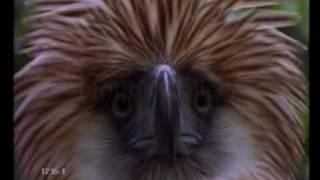 Philippine Eagle  (Monkey-eating Eagle)