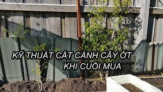KỸ THUẬT CẮT CÀNH CÂY ỚT KHI CUỐI MÙA - Toan Trinh Garden
