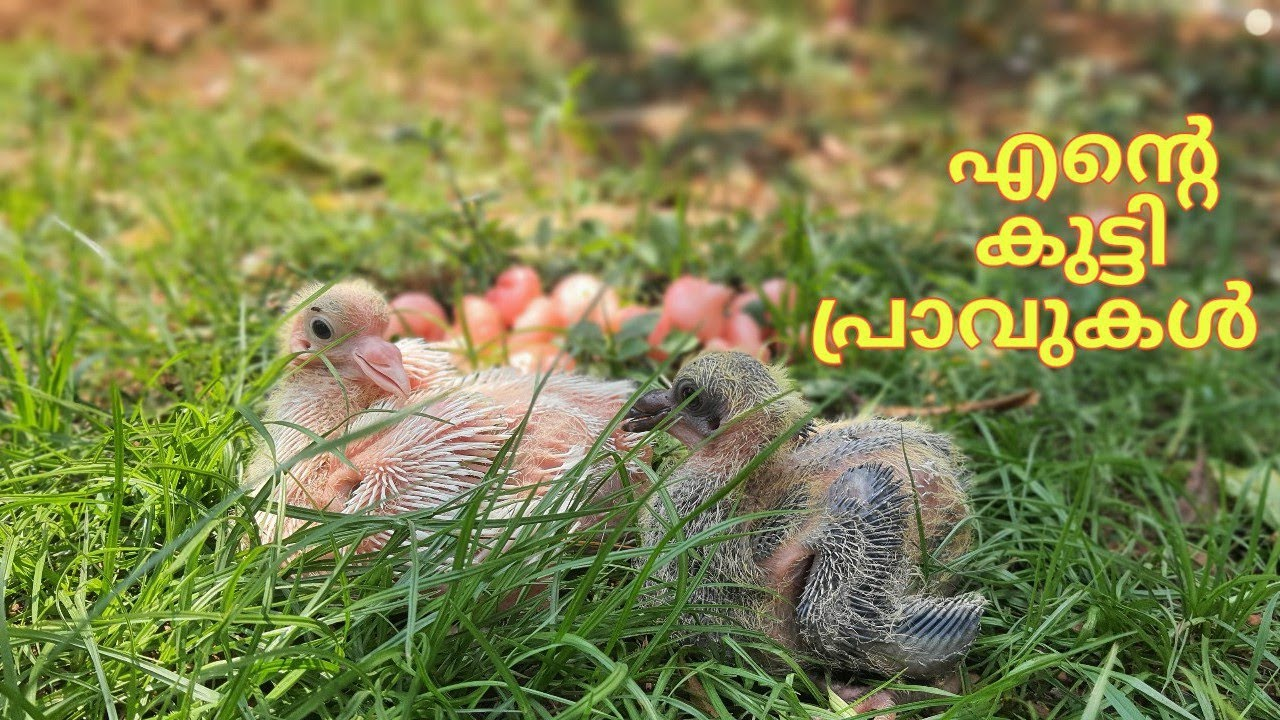BABY PIGEONS VIDEO - YouTube